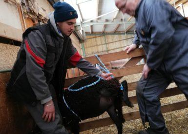 apprendre-a-manipuler-les-ovins-avec-la-msa